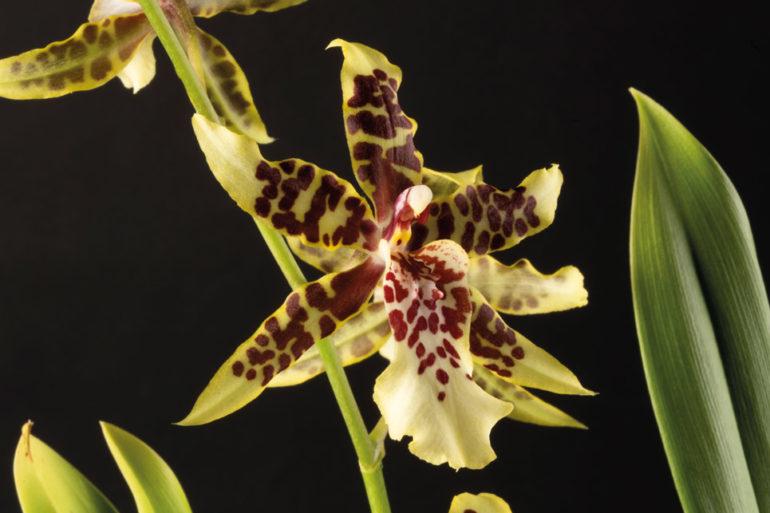 l'Orchidium