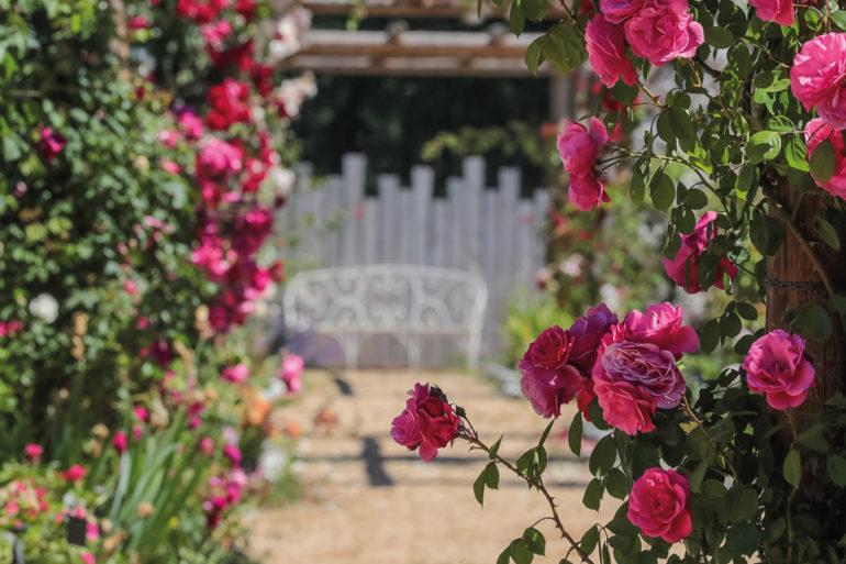 Les Roses Anciennes, André Eve